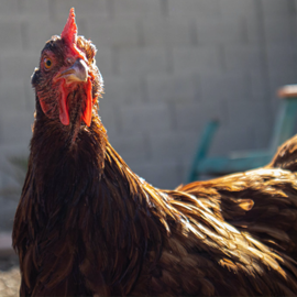 What You Didn't Know About the Rhode Island Red Chicken